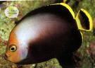 Chaetodontoplus melanosoma